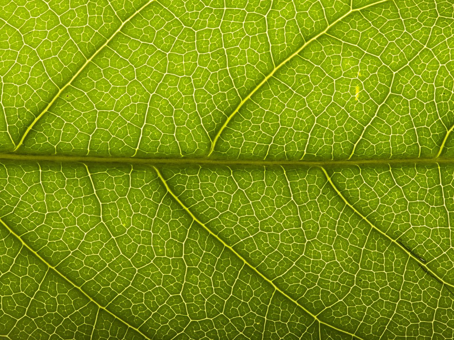 Nærbilde av et grønt blad